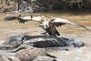 Vulture Mara
