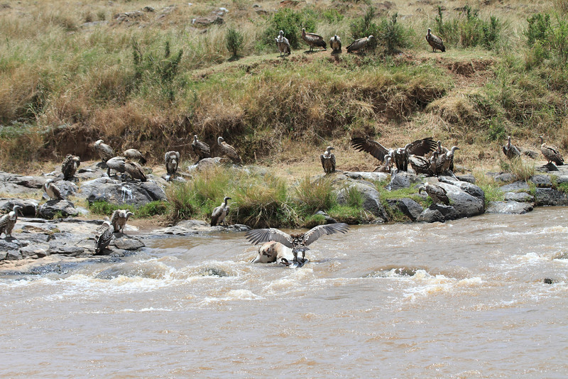 Vulture Flock on Mara River with Kills