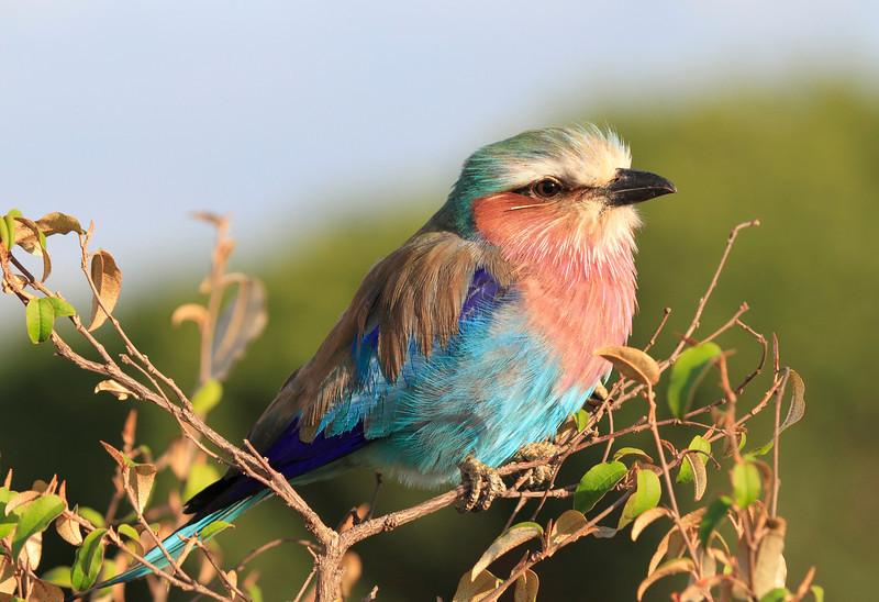 Lilac Breasted Roller Mara