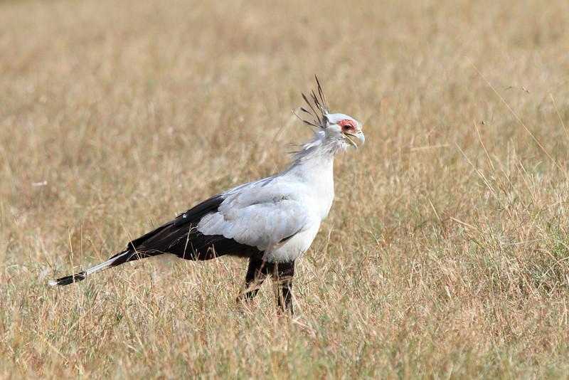 Secretary Bird Mara