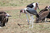 Marabou Stork Mara