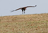 Hooded Vulture Flying Mara