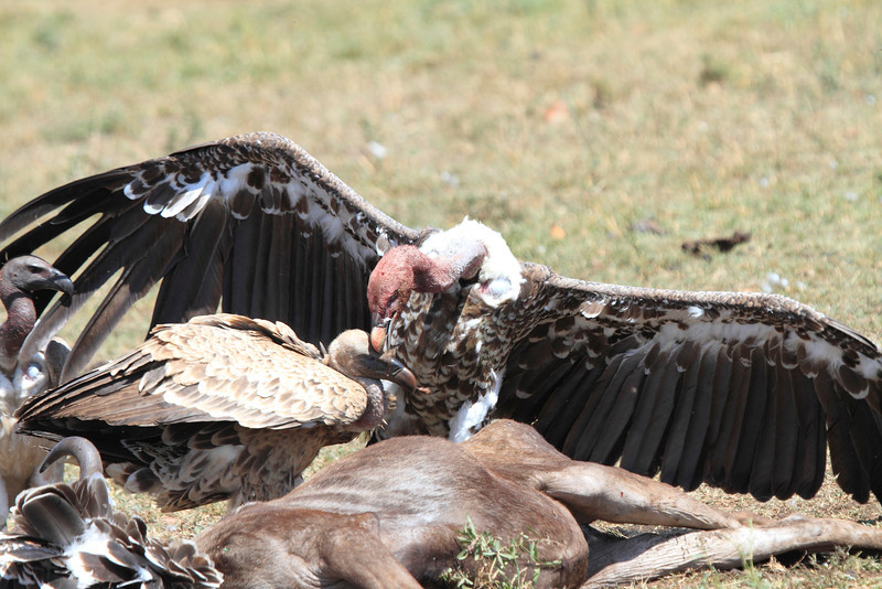 Ruppell's Griffon Dueling Vultures Mara