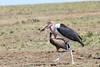 Marabou Stork Eating Mara