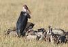 Marabou Stork Vultures Mara