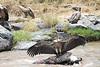 Vulture Kill Mara