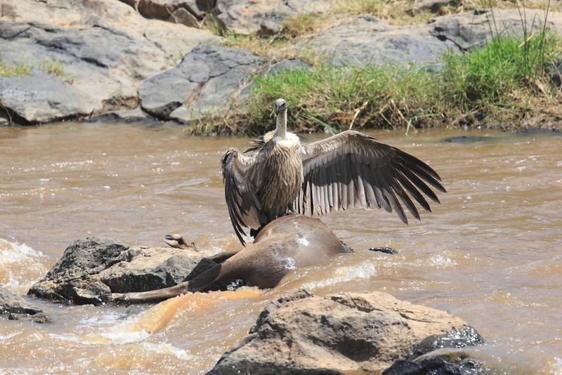 Vultures Kill Mara River