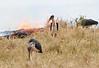 Marabou Stork Mara Fire