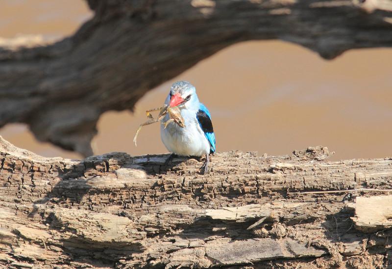 Woodland Kingfisher with Frog Mara