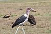 Marabu Stork0841