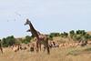 Giraffe Mara