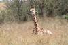 Giraffe Youngster Mara