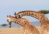 Giraffe Jousting Necking Mara