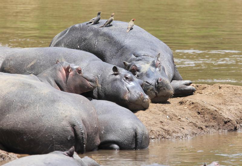 Hippo Mara