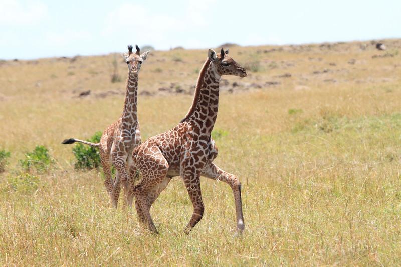 Giraffe Youngsters Mara