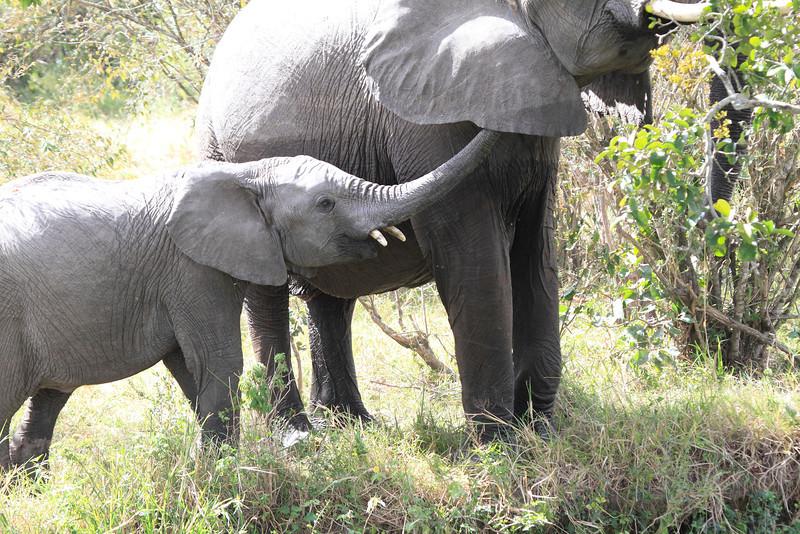 Elephant Family Mara