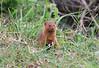Dwarf Mongoose Mara Rekero Camp
