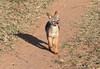 Black Backed Jackal Pups Mara