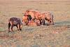 Spotted Hyena Mara