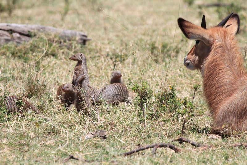 Banded Mongoose Mara