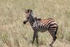 Baby Zebra Mara