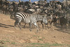 Zebra Mara