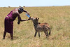 Salaash with Baby Zebra