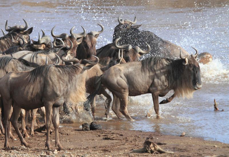 Wildebeest Mara Herd