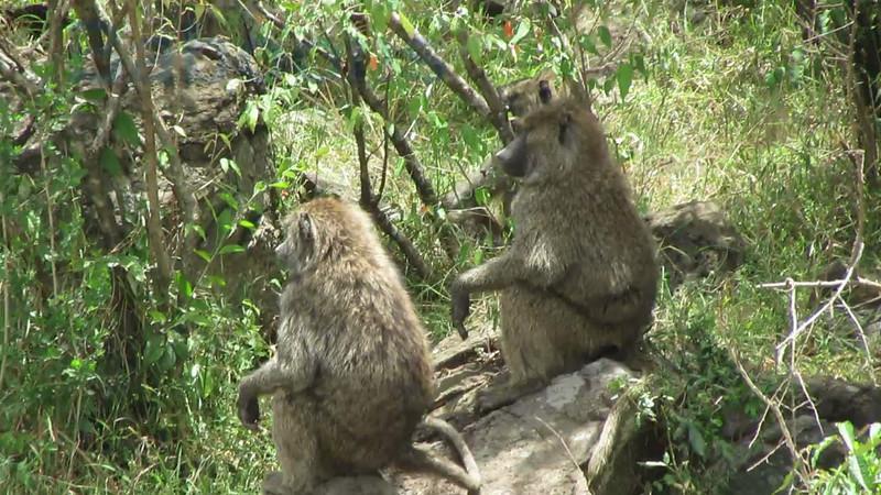 Chocma Baboon Video Mara