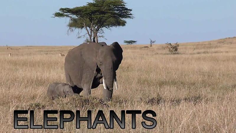 Mara Elephant Video