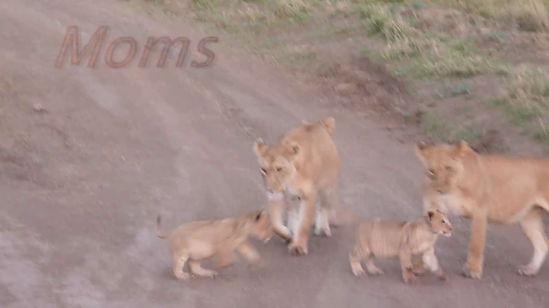 Lion Mothers Video