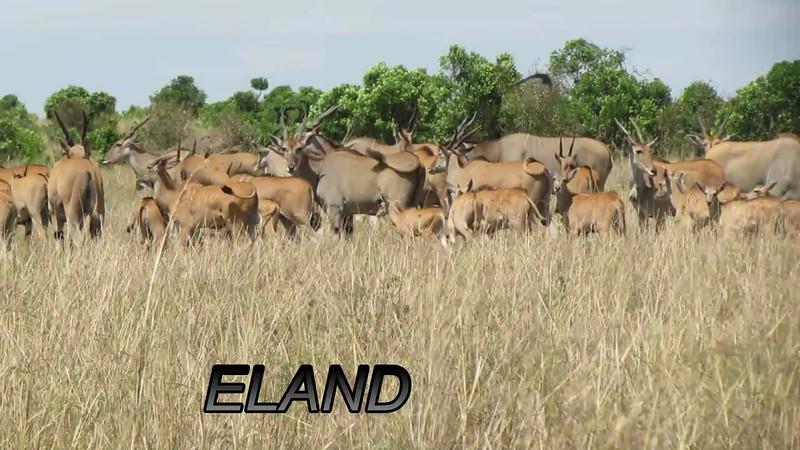 Eland Antelope Video Mara