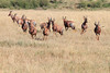 Topi Herd Mara