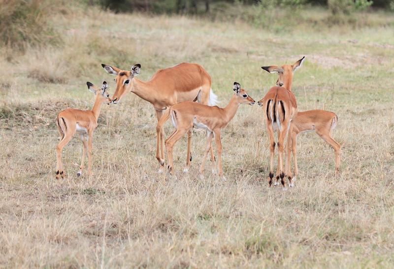 Impala Family Mara