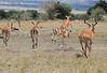 Impala Mara