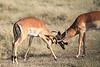 Dueling Impala