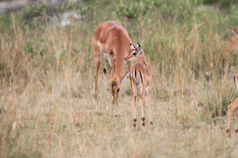 Young Impala Mara