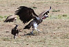 Lappet-faced Vulture and Hooded Vulture