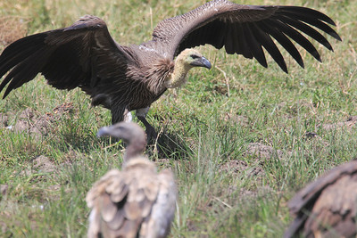 African White-backed Vulture Immature Mara