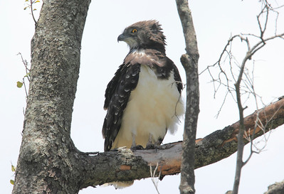Immature Martial Eagle Mara