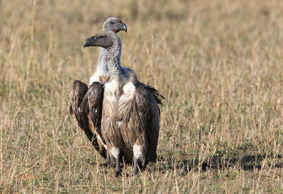 African White Backed Vulture Mara