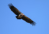 Lappet Faced Vulture Flying Mara