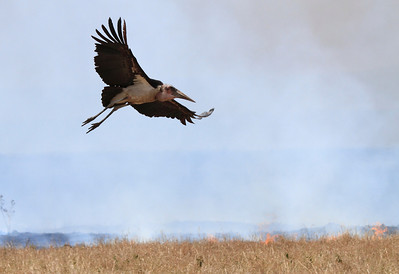 Marabou Stork Flying Fire Mara