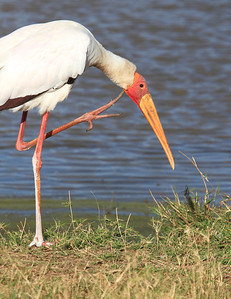 Yellow Billed Stork Mara