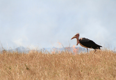 Marabou Stork Fire Mara