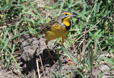 Yellow-throated Longclaw Mara