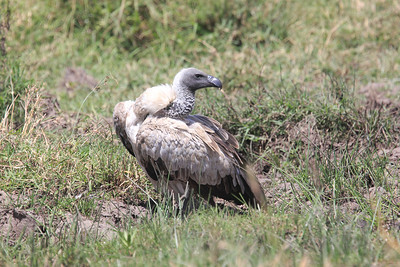 African White-backed Vulture Mara