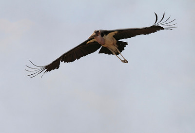 Marabou Stork Flying Mara