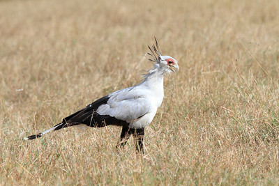 Secretary Bird Mara