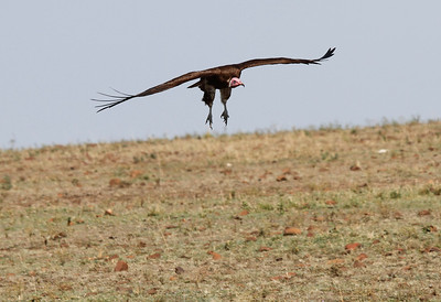 Hooded Vulture Flying Mara